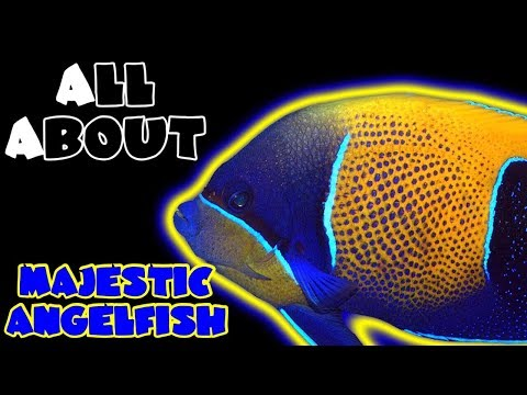 All About The Majestic Angelfish Or Blue Girdled Angelfish