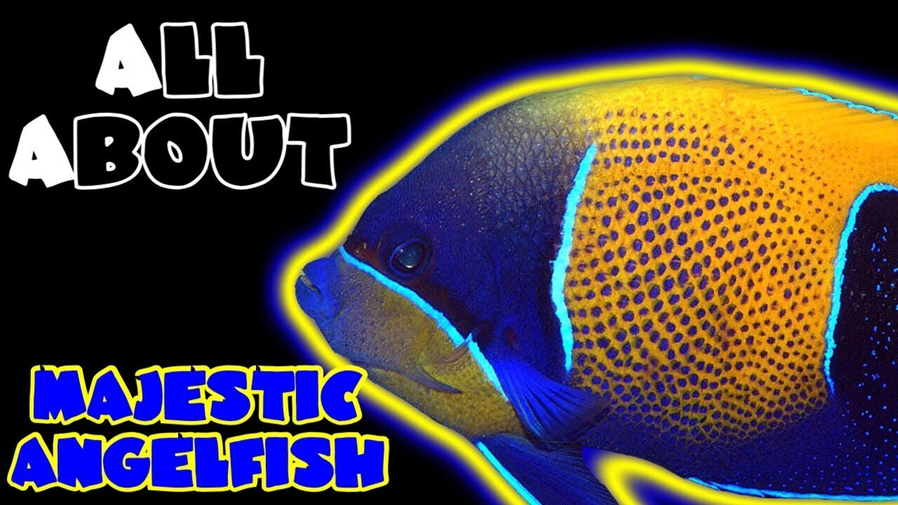 all about the majestic angelfish or blue girdled angelfish youtube