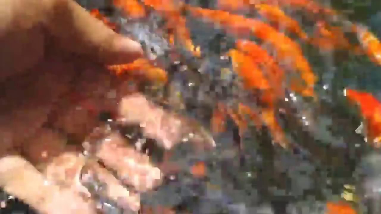 Gosanke koi fish meaning youtube for What does koi mean