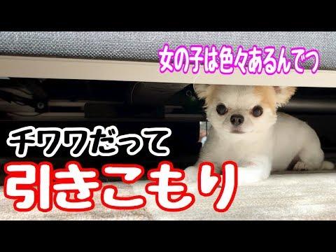 【チワワの引きこもり】何故か急にベッドの下に引きこもる子犬チワワのティーナ