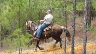 Ringo - Rocky Mountain Horse