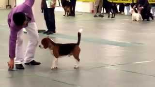 Reserve Best In Show - Beagle - Day 1 Mka International Show 13th March 2014 - Larry Yuen (malaysia)