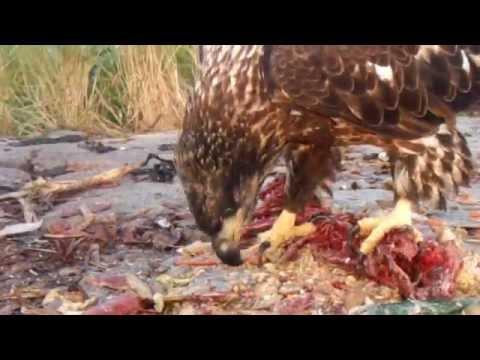 Golden Eagle dominates Bald Eagles