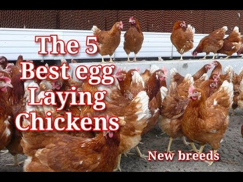The 5 Latest Best Commercial Egg Laying Chicken