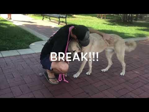18 Mo. Anatolian Shepherd/Lab Mix (Mylo)   Amazing Transformation   Best Arkansas Dog Training