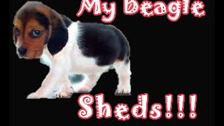 Gotten Beagle Shedding Hair All Over Your House Lately? Watch This!!!