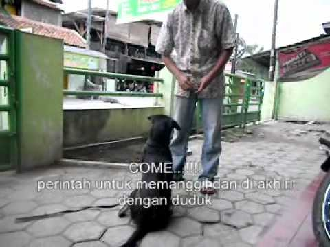 Anjing Paling Pintar Di Dunia Doovi