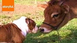 Sneaky Bulldog Gets Licked By Herd Of Cows (storyful, Dogs)