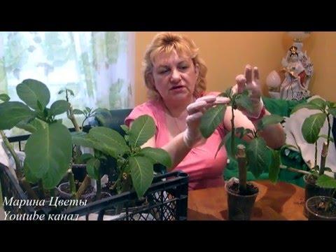 Покупаем бругмансию весной - уход, выращивание за молодыми черенками