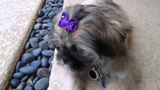 Diy Dog Grooming - Finishing Touch - Bows Etc., Shih Tzu Rescue Puppy