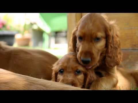 N-puppies from Crawford Land- Irish Setter