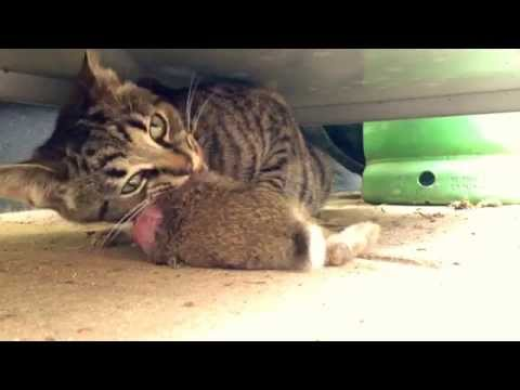Cat Eats a Whole Rabbit