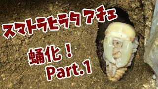 【どうかな!?】スマトラヒラタクワガタアチェの蛹化① Dorcus titanus yasuokai 【Part2:蛹化編】