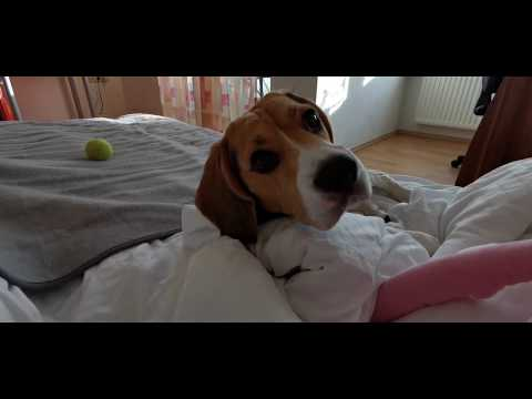 A normal day with our beagle in Germany