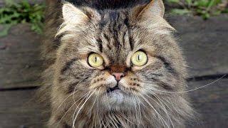 Коты разбойники 9 эп.  Кот Джон Сина! Новые лучшие приколы 2016