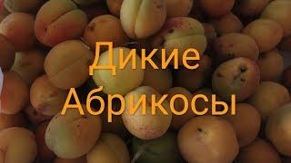 Нарвать в лесу абрикосы имениннице Оксане 02.07.2018