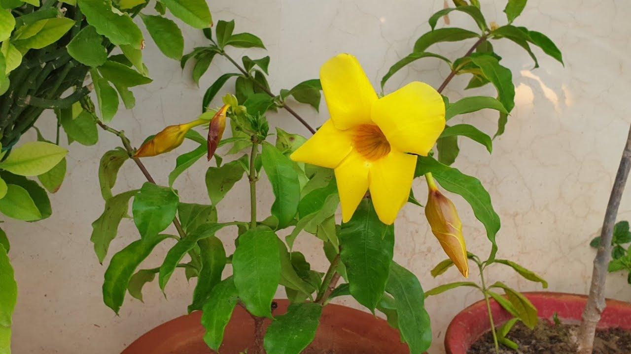 How to Grow and Care Allamanda Bush    Fun Gardening