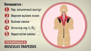 Смотреть видео мышцы спины анатомия видео