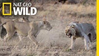 Lions Get Kicked Out of Their Pride in Rare Video | Nat Geo Wild