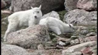 Pet Husky (disappeared) chases down Wild Mountain Goat in Colorado