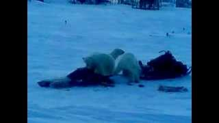 медведи сожрали наше мясо