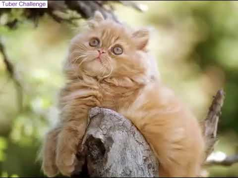 Top 10 Most Beautiful Cat Breeds in The World - Tuber Challenge