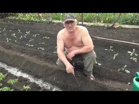 Как посадить рассаду помидор.