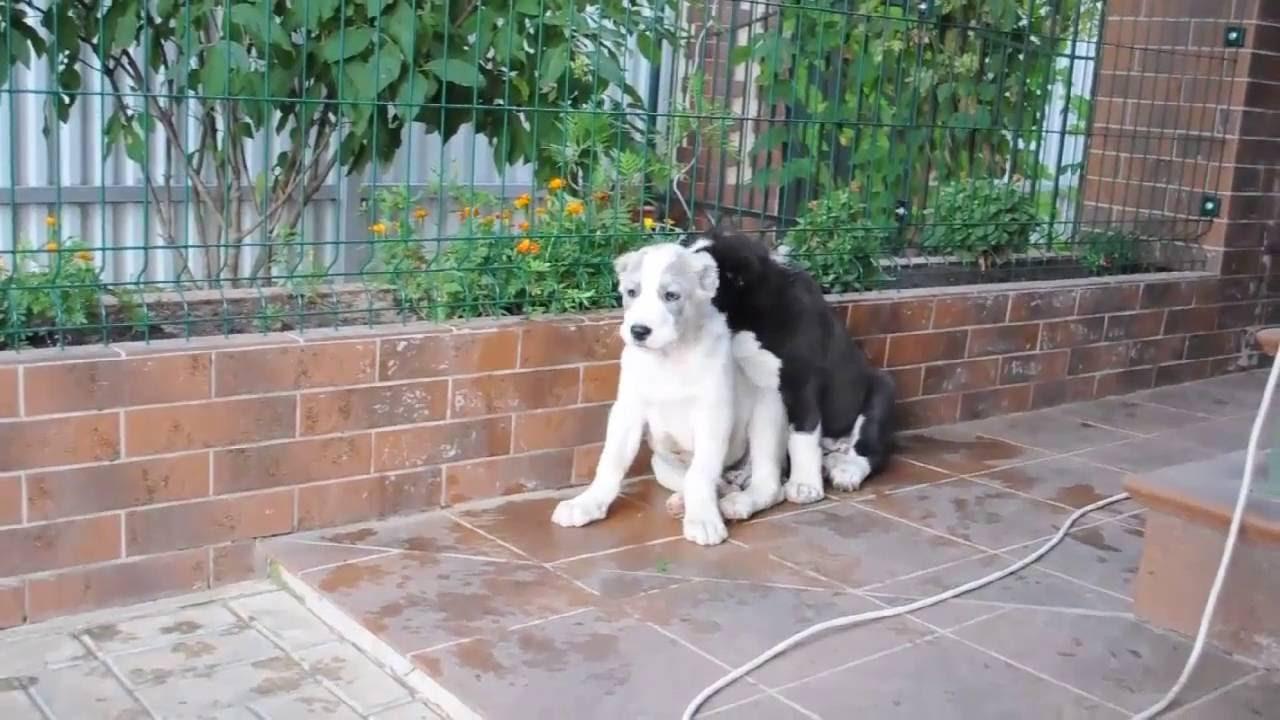 Продам щенков алабая - YouTube