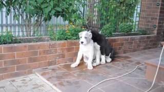 Щенки алабая. Посмотрите доброе спокойное видео(, 2016-07-27T03:31:03.000Z)