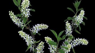 Blooming White Cherry Branch Stock Video