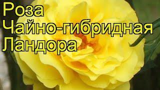Роза чайно-гибридная Ландора. Краткий обзор, описание характеристик, где купить саженцы Landora