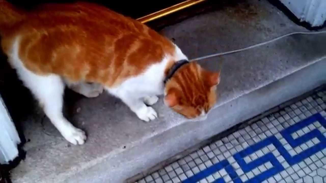 Orange and white cat  YouTube