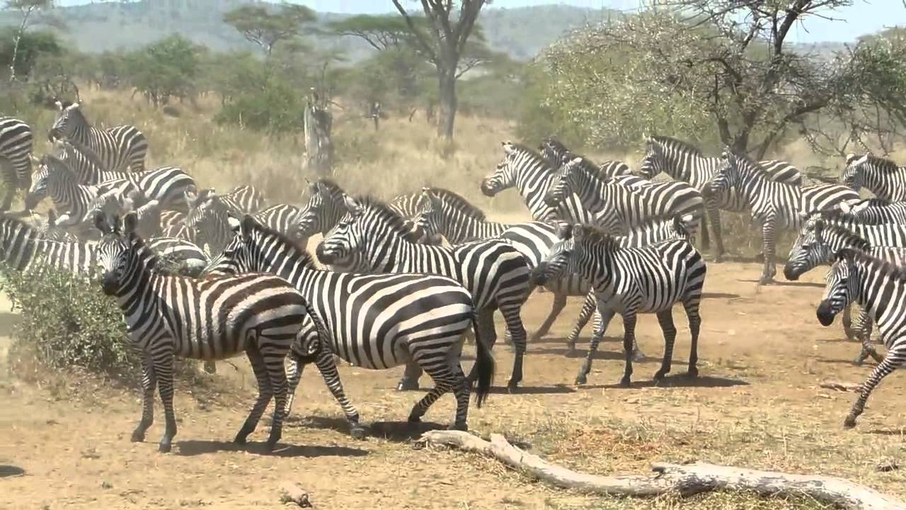 lion king zebra