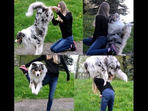 DOG TRICKS BY AUSTRALIAN SHEPHERD AKIM !!!