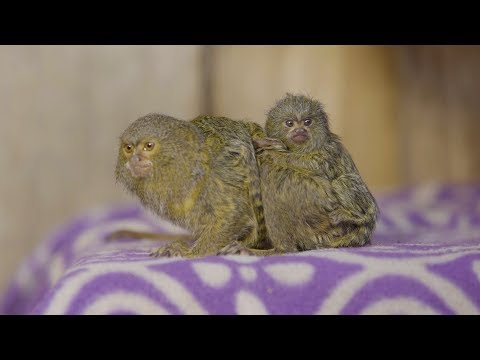 World's smallest monkey has the cutest babies