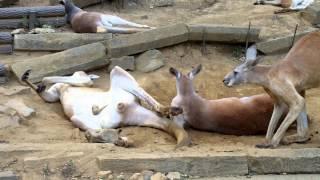 2013年8月17日 多摩動物公園にて 最初から最後まで脱糞!