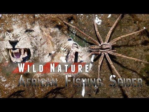African Fishing Spider | WILD NATURE