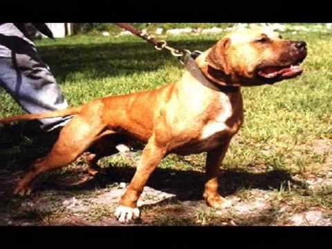 The Real American Pit Bull Terrier Video Youtube