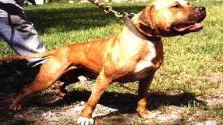 The Real American Pit Bull Terrier Video