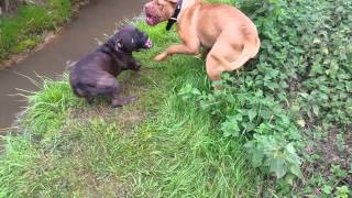 Dogue De Bordeaux Puppy Being Bossy