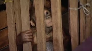 Rescue Mission Part 1 - Orangutan Diary - BBC