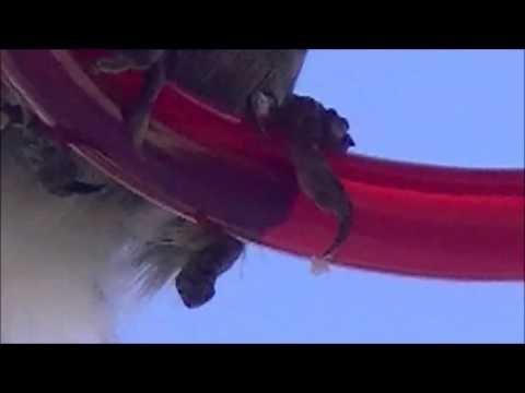 Avian pox in hummingbirds