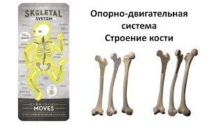 5.1 Опорно-двигательная - кости  (8 класс) - биология, подготовка к ЕГЭ и ОГЭ 2019