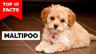 Maltipoo  Top 10 Facts