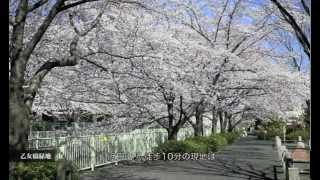 ヴィークコート浜田山:現地周辺の桜並木を歩いてみました。 thumbnail