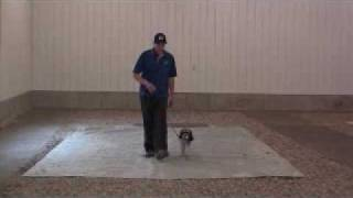 Cocker Spaniel Murphy - Dog Training Graduate