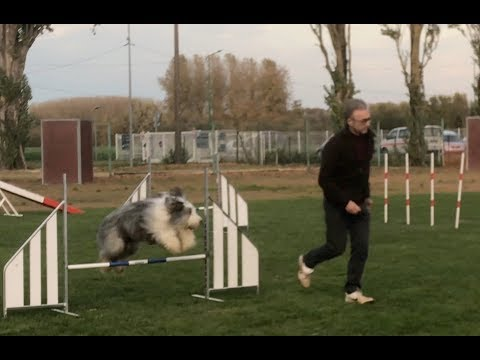 Opium, bearded collie et Robert, une équipe d'agilty en devenir  !..