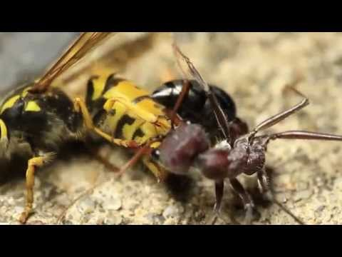 European Wasp Vs Bull Ant from YouTube · Duration:  3 minutes 24 seconds