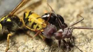 European Wasp Vs Bull Ant