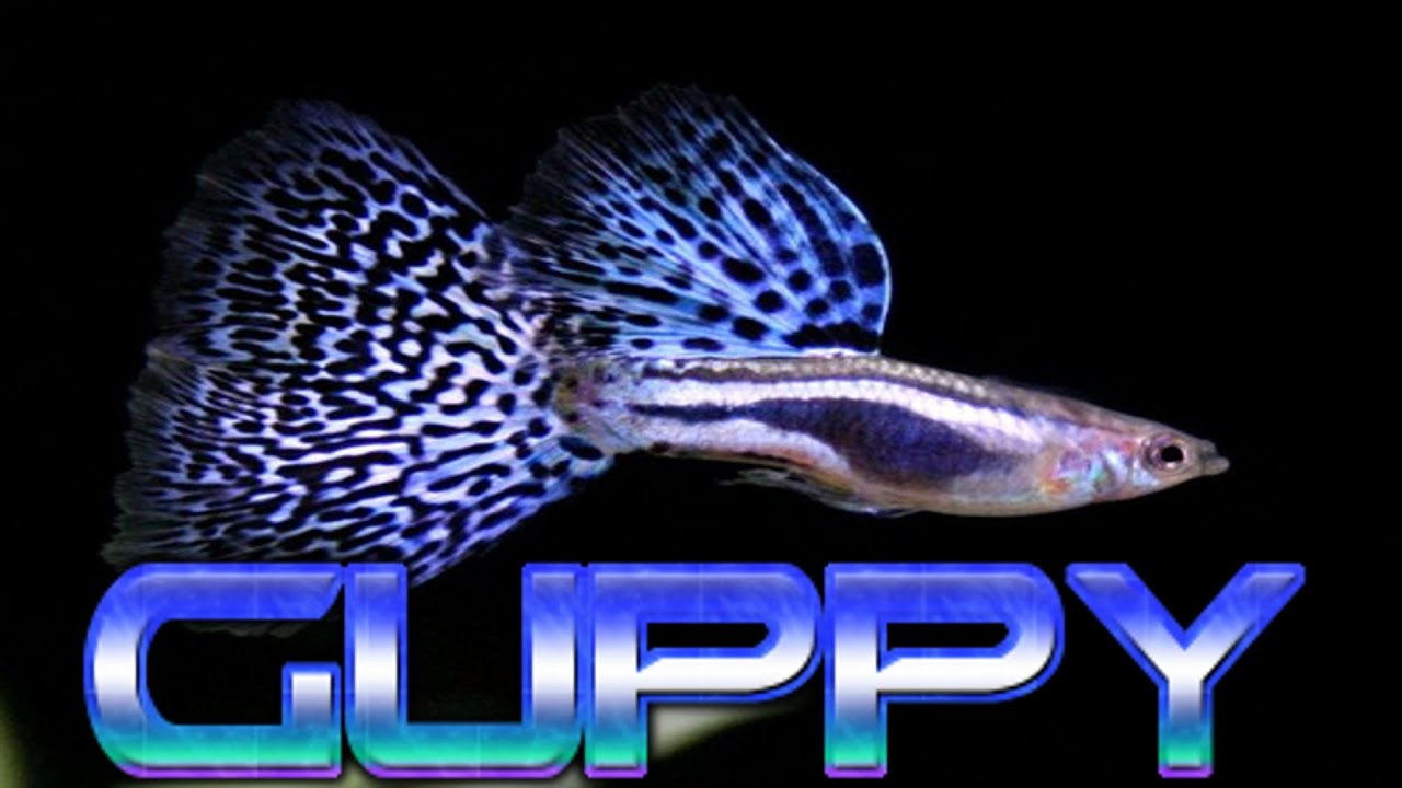 hd complete guppy fish care guide youtube